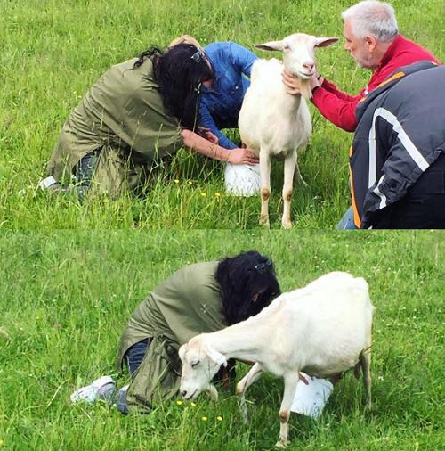 Как Лолита Милявская впервые козу доила